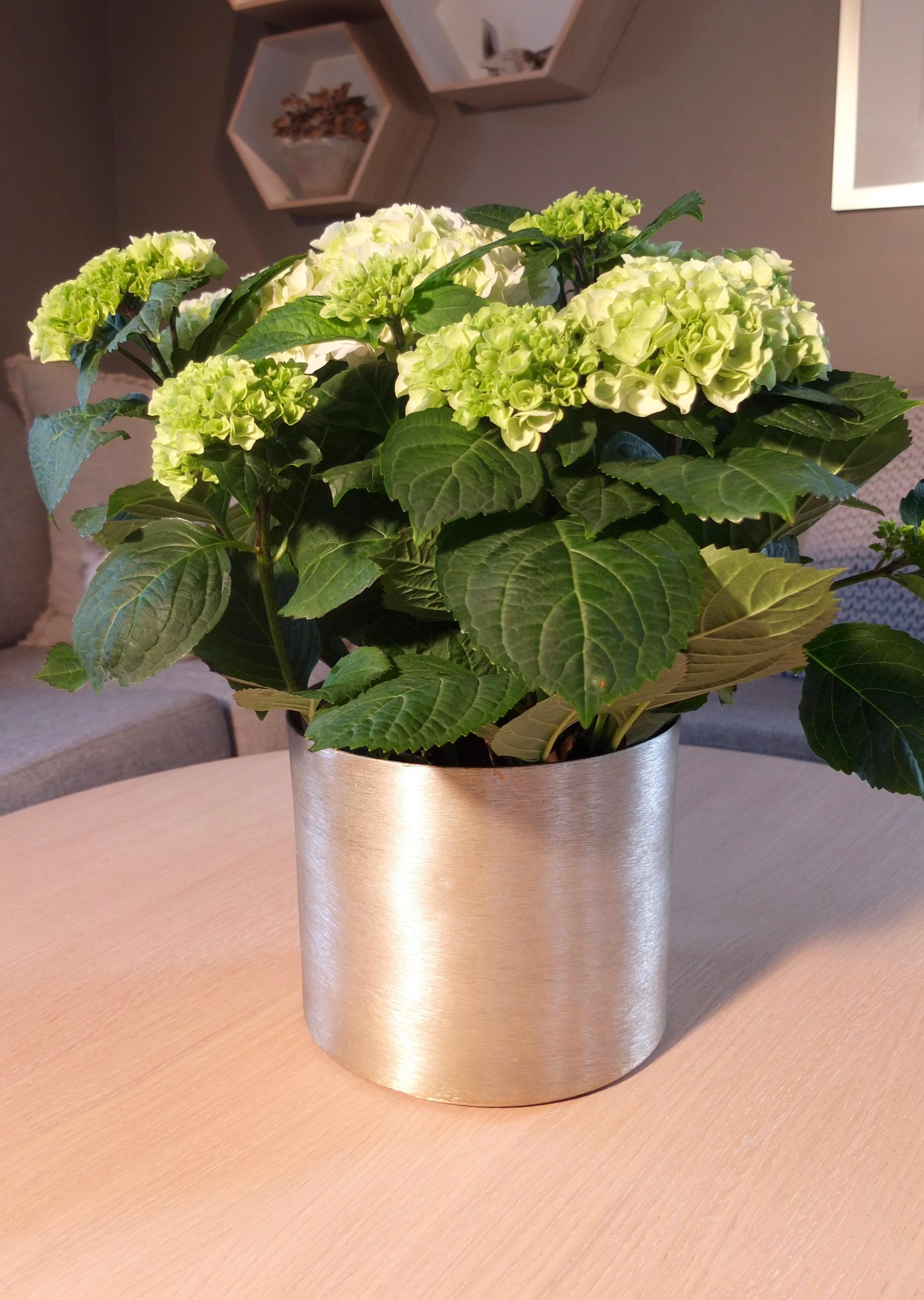 Vi kjøper Hortensia i full blomst, enten som potteplante, snittblomst eller utplantingsplante