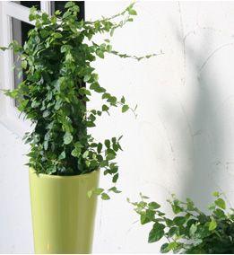 Ficus pumila (1)