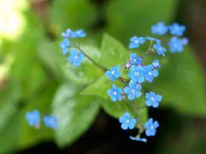 brunnera-moseplassen-blomst