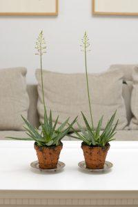 stell av aloe vera plante generasjonsskifte landbruk. Black Bedroom Furniture Sets. Home Design Ideas