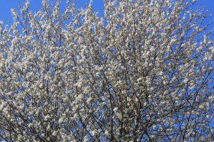 Prunus-avium4