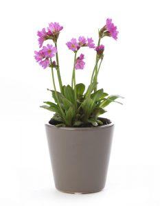 csm_primula_botanic_rosea_074826884c-1