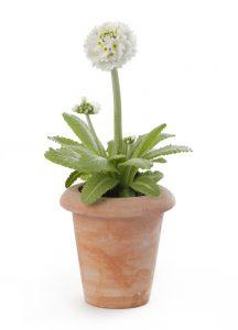 csm_primula_botanic_denticulata_17884a2b71