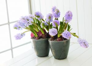 csm_hyacinthus_orientalis_527c1282eb