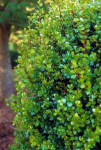 Myrsine africana (African Boxwood) evergreen shrub