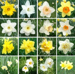 Narcissus_-_Cultivars