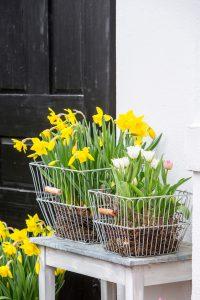 Tulipa_-_Narcissus_pseudonarcissus__1893