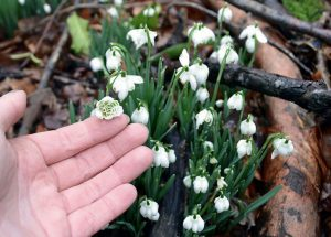 galanthus-flore-pleno (1)
