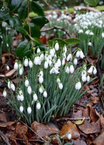 how-to-grow-snowdrops