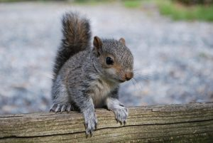 squirrel-2757743_960_720