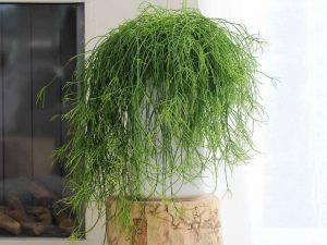 Mistletoe-Cactus-Rhipsalis-baccifera1